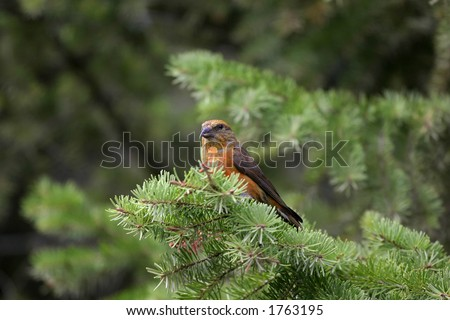 Red crossbill Loxia curvirostra - stock photo