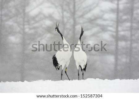 Red-crowned crane or japanese crane, Grus japonensis, displaying,  Hokkaido, Japan, winter - stock photo