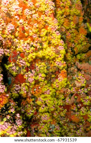 Red Cup Coral completely taking over the surface of an artificial reef. - stock photo