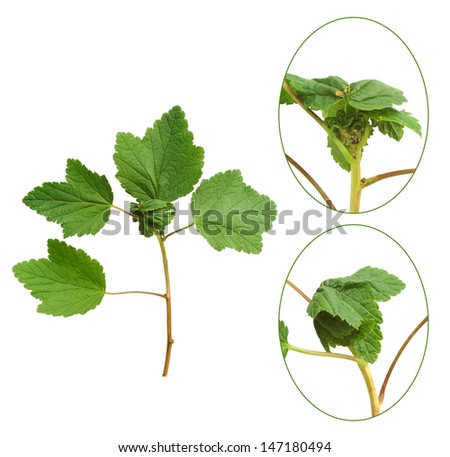 Red currant plant attacked by aphids - stock photo