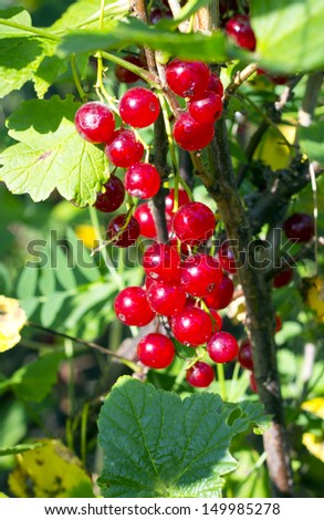 Red currants  berries on the bush in the garden