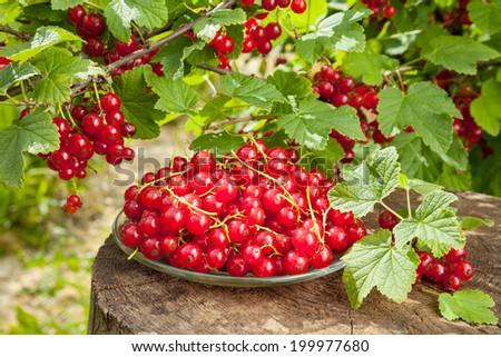 red currants on plate and bunch with berries in garden - stock photo