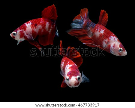 Stock images royalty free images vectors shutterstock for Cute betta fish