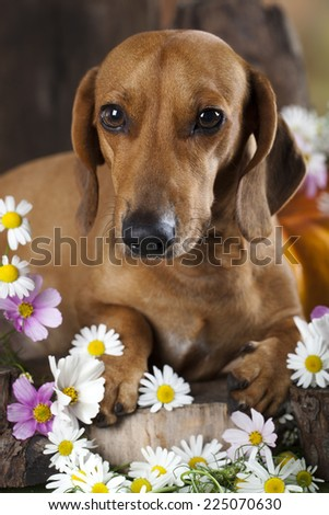 red dachshund and flowers - stock photo