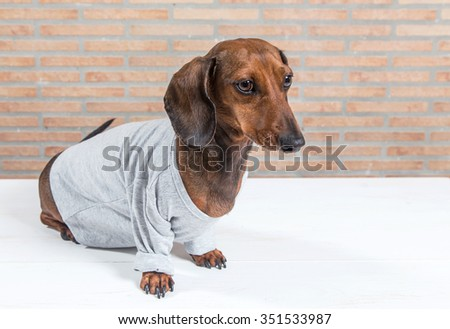 Red dachshund dog with gray shirt on white wooden table