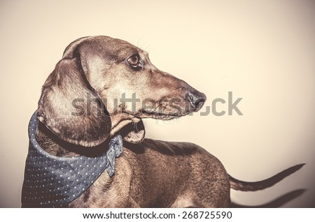 Red dachshund dog with sun glasses or bow tie scarves Red dachshund dog with sun glasses or bow tie handkerchiefs over wooden table - stock photo