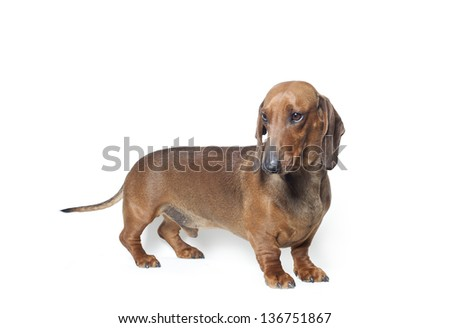 red dachshund isolated on white, red short haired  dachshund