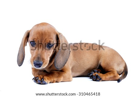 Red dachshund puppy isolated on white background. - stock photo