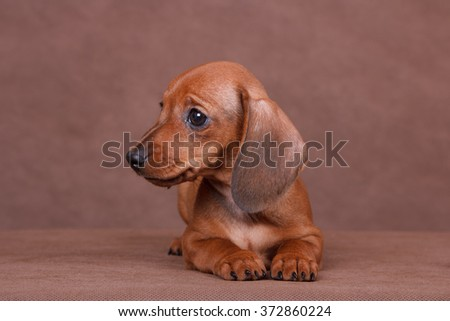 red dachshund puppy on a brown background