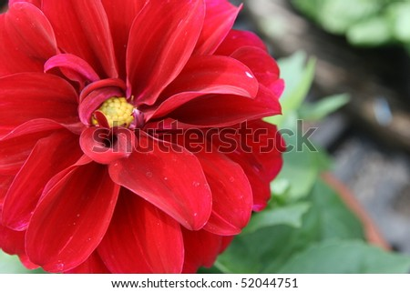 Red Dahlia - stock photo