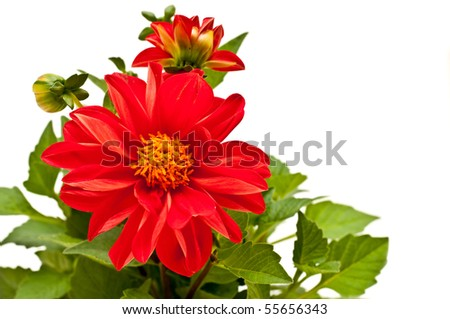 red dahlia - stock photo