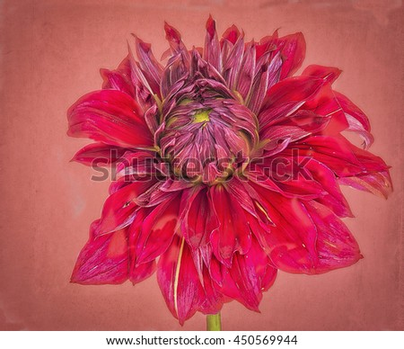 Red dahlia bloom painted against textured background, photo art