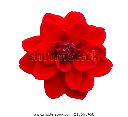 Red Dahlia flower bloom isolated on white background.