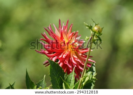 Red dahlia flower on the bush in the home garden in summer season