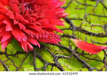 Red dahlia on dried coral tree and green leaf - stock photo