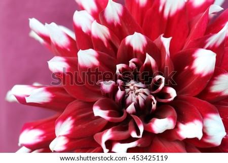 Red dahlia white tips stock photo edit now shutterstock red dahlia with white tips mightylinksfo