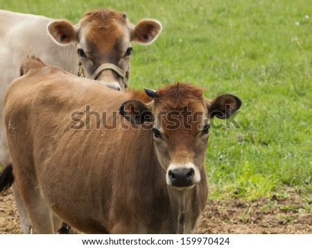 Red dairy cow grazing on a meadow in Montrose, Colorado. - stock photo
