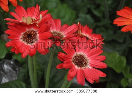 Red Daisy - stock photo