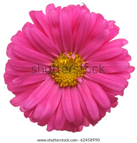 Red daisy flower isolated on white background - stock photo