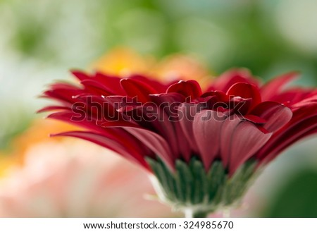 Red daisy gerbera flower with soft focus  - stock photo
