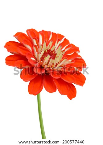 Red daisy isolated on white. zinnia flower - stock photo