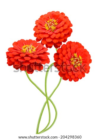 Red daisy isolated on white. zinnia flowers  - stock photo