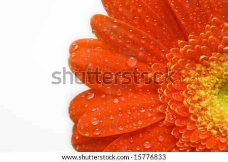 Red daisy with teardrops on white