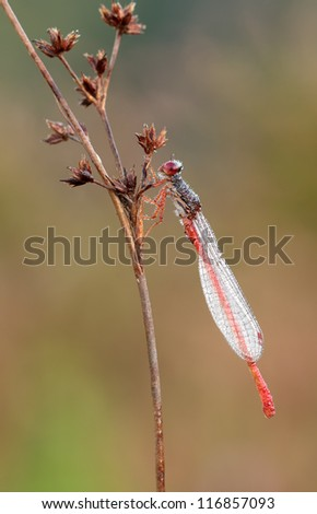 Red Damselfly (Ceriagrion tenellum) with a great clean background in great colors