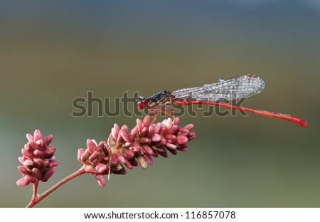 Red Damselfly (Ceriagrion tenellum) with a great clean background in great colors and soft light
