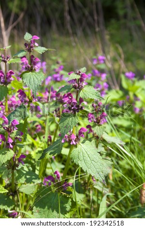 Red dead nettle (Lamium purpureum) closeup