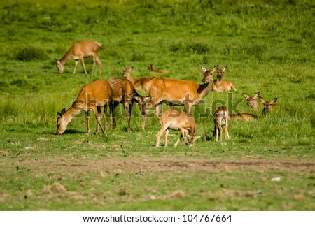 Red Deer and Mouflons grazing in grass field - stock photo