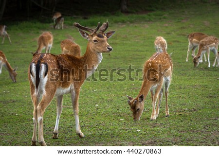 red deer and roe deer breeding