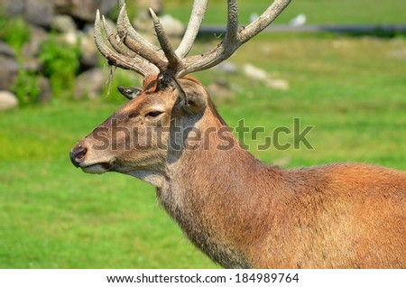 Red deer are ruminants, characterized by an even number of toes, and a four-chambered stomach. - stock photo