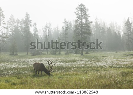 Red deer at dawn grazing in a meadow in the mist. Yellowstone National Park, USA - stock photo