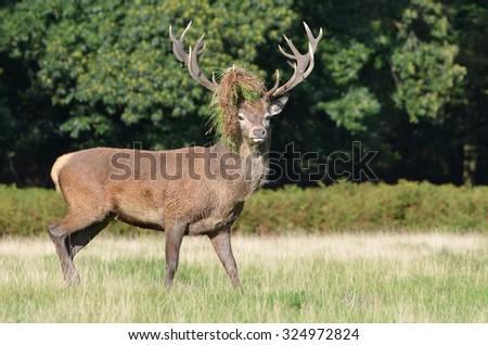Red deer, Cervus elaphus - stock photo
