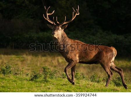 Red Deer (Cervus elaphus) at Killarney National Park,Kerry,Ireland - stock photo