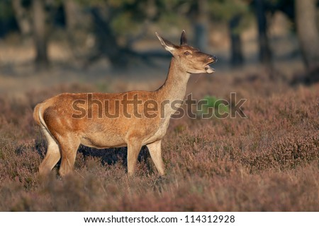 Red Deer (Cervus elaphus) eating.