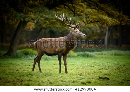 Red deer (cervus elaphus) on grassland. Male, mature stag, big antlers, rut.