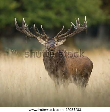 Red Deer Cervus elaphus rutting