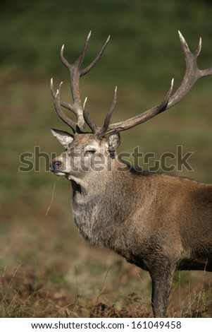 Red deer, Cervus elaphus, single male on grass, Bradgate Park, Leicestershire