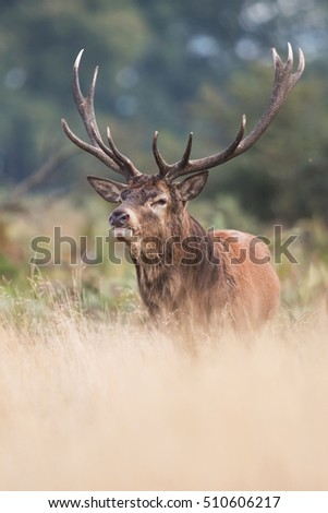 Red Deer, Deers, Cervus elaphus - Rut time.