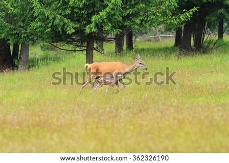 red deer doe with calf walking through a clearing in the wild woods ( Cervus elaphus ) - stock photo