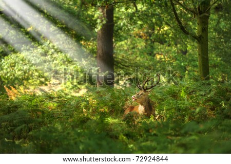 Red deer during rutting season in Autumn Fall, scene in fields and forests - stock photo