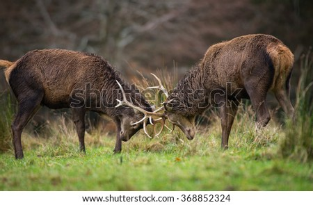 Red deer  fighting during mating season - stock photo