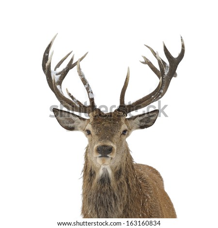 Red deer head and antler portrait isolated on white. - stock photo