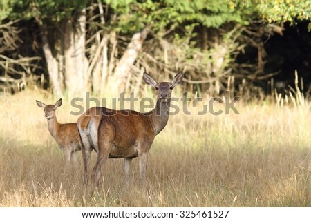 red deer hind with young in grazing glade ( Cervus elaphus ) looking towards the camera