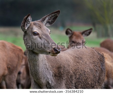 Red deer hinds in herd.