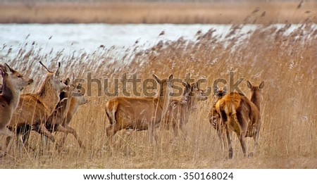 Red deer in a field in winter