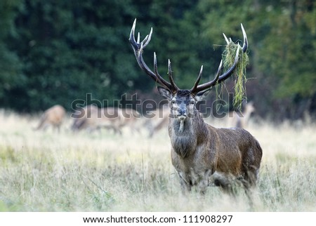 Red deer in grass