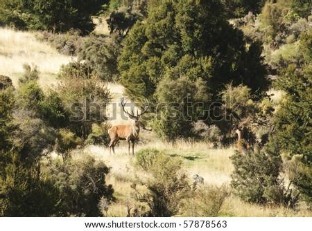 Red deer in the Seaward mountain range near Kaikora, New Zealand's South Island - stock photo